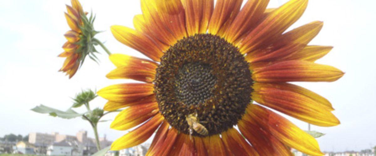 野菜とハチの日々…