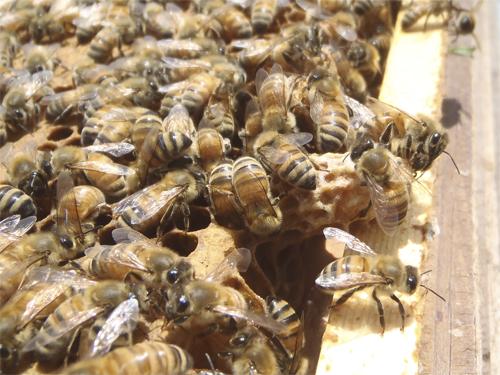 分蜂の季節