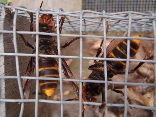 スズメバチの季節