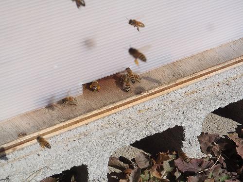 真冬のミツバチ