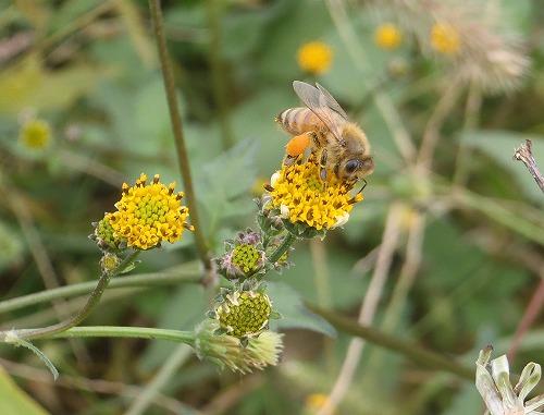 ミツバチとアメリカセンダングサ