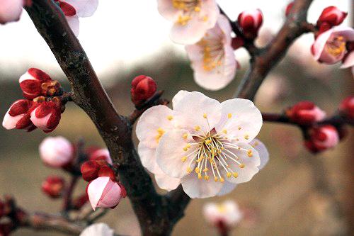 桃栗3年柿8年……さて梅は?