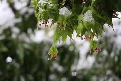 カエデの花と春の雪