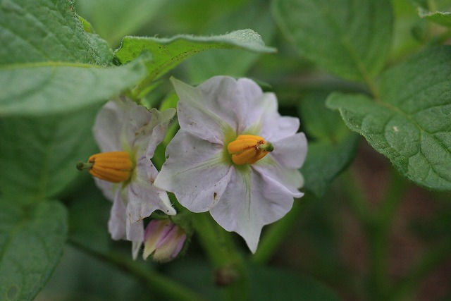 ジャガイモの花―花の咲く芋、咲かない芋―